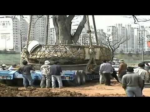 DaejiDevelopment_nurse tree transplanting for gulpochen - YouTube