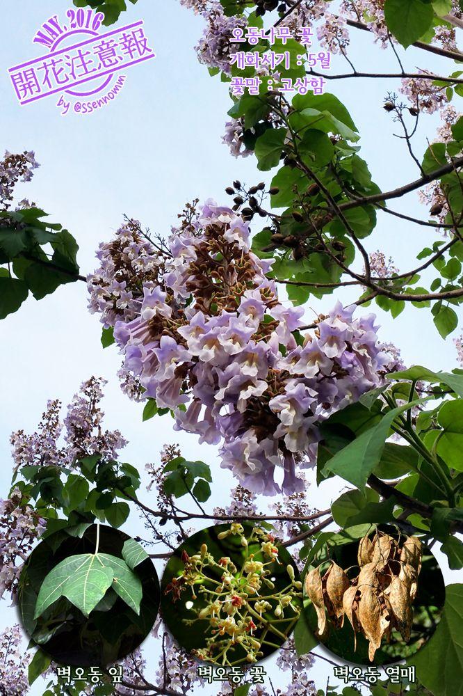 ▶개화주의보(069) 오동나무 꽃 ※오동나무와 <벽오동나무>는 서로 다른 나무다. → http://fb.com/blooming.news/photos/1722578084689698