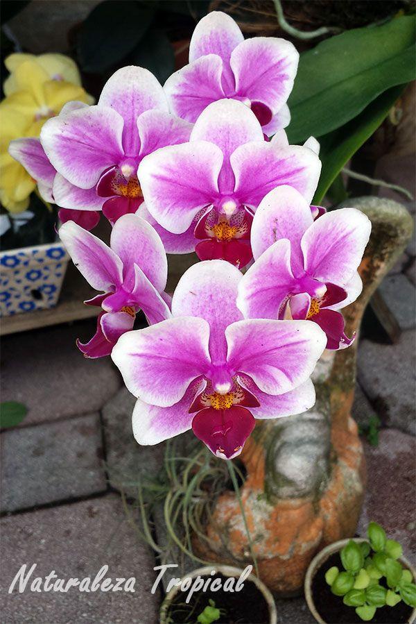 floracion-phalaenopsis.jpg (600×899)
