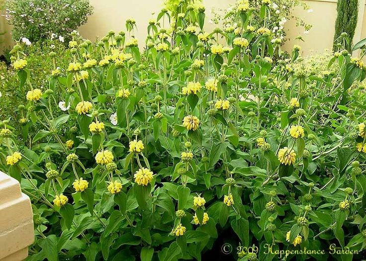 Jerusalem Sage (Phlomis fruticosa). Looks like Lion's Tail