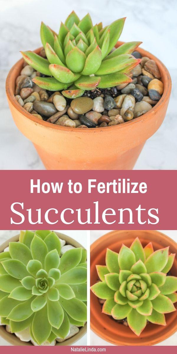 Fertilizing Succulents How And When Succulent Fertilizer