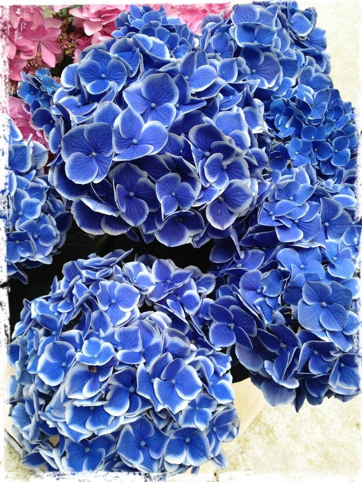 全国的にいよいよ梅雨開け \(^o^)/  いよいよ夏本番ですね~!    熱中症に気をつけて水分補給しながら頑張ってきましょーー!!(;´Д`A    深いブルーが涼しげな紫陽花も、今週でもう最後かもしれません。  花言葉は「元気な女性」です!  頑張ってくださーい!