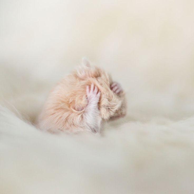 15-adoráveis-hamsters-com-excesso-de-fofura-4