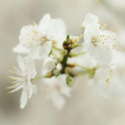 Sakura - #Japan #CherryBlossom