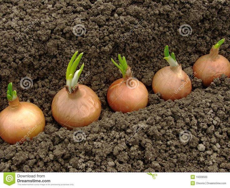 Como plantar bulbos de cebola plantar plantar e plantar pinterest horta jardinagem e - Comment planter des oignons ...