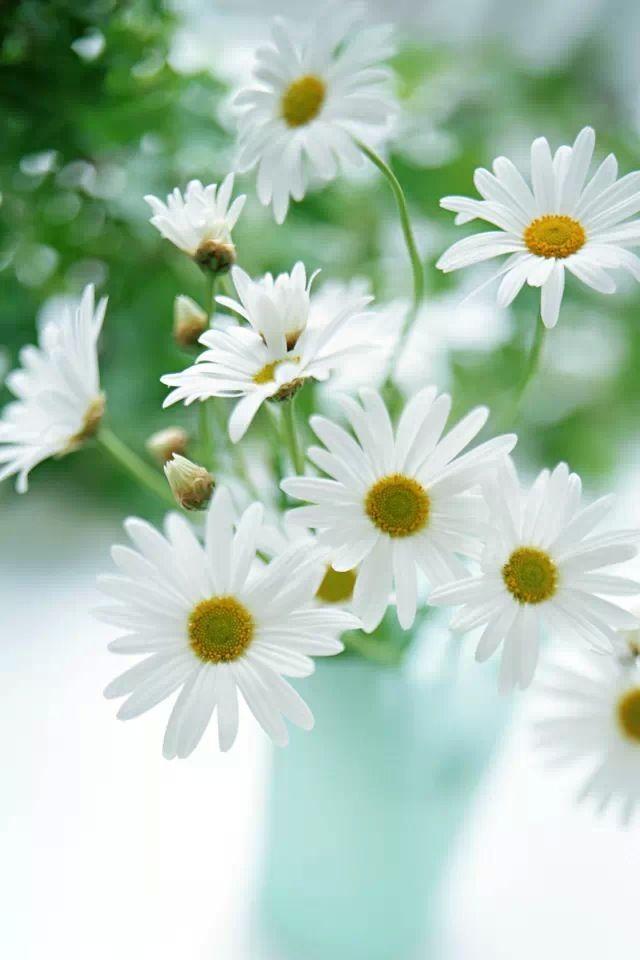 White daisies  #iPhone #4s #Wallpaper   Enjoy more here:http://www.ilikewallpaper.net/iphone-wallpaper/.