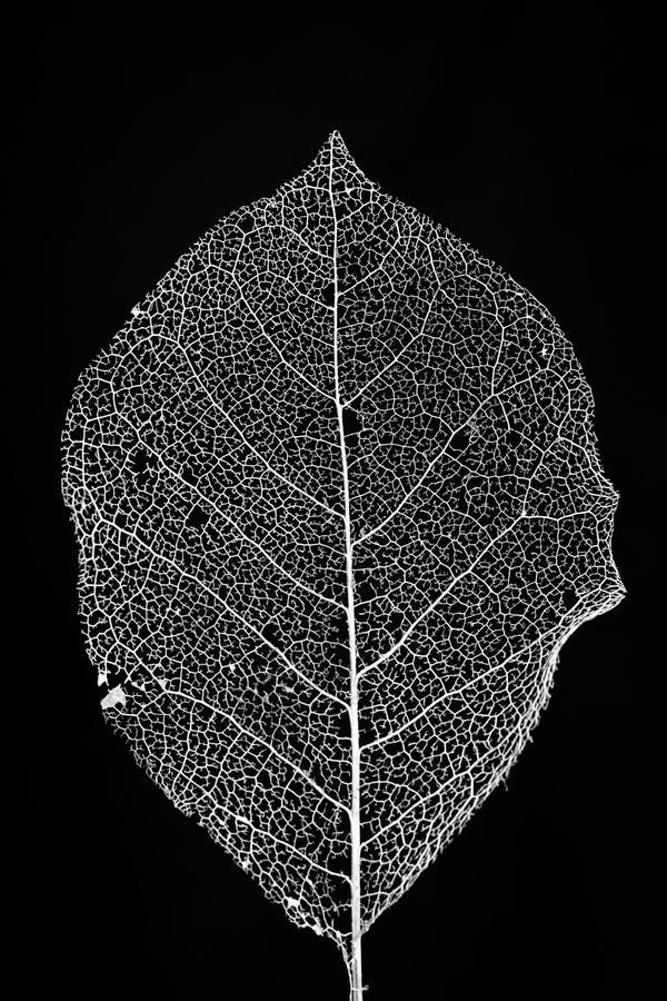 Magnolia Leaf Skeleton by Jason Groepper