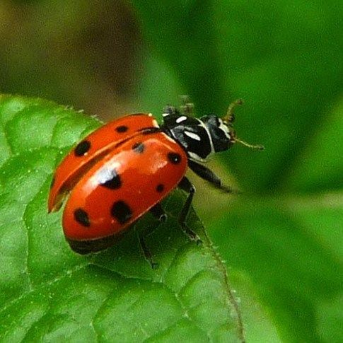 Pin by Sweet Lady on Sweet Lady | Ladybug, Garden pests, Insects