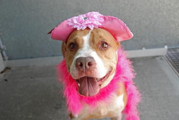 SAFE!  ~ SAT 6/28/14  Brooklyn Center -P   My name is PIPER. My Animal ID # is A1003784.  I am a female brown and white am pit bull ter mix. 6 YEARS old.  STRAY on 06/19/2014 Piper pulls on the leash and was shy but friendly during the assessment. Described as sweet and calm.  She wants so badly to have a home again! She did really well on her behavioral eval ! A total sweetheart that deserves to be in a kind, loving home reflecting her loving nature.