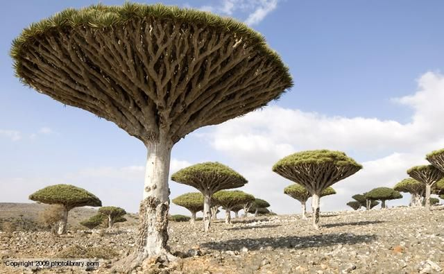 Dragon's blood trees are a distinctive and slow-growing species of dragon tree native to the Socotra archipelago off the horn of Africa. The famous red resin that gives it its name is exuded from the bark after wounding. The medicinal and colouring properties of this resin, and that from other dragon trees, was recorded by the ancient civilisations of Greece and Rome. It continues to be used in medicine, dyes, varnish and incense to this day.
