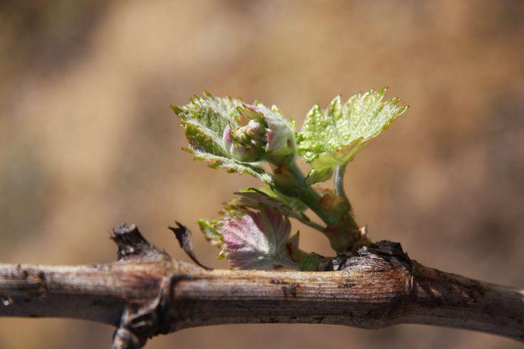 Bud burst on the 1847 Shiraz vines at Turkey Flat Vineyards, Barossa Valley