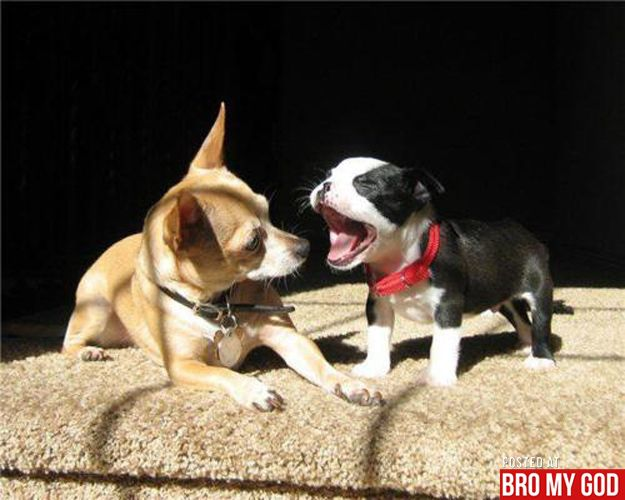 Bark bark!: Tall Tales, Funny Animal Pics, Dogs Breeds, Happy Puppys, Friends Forever, Adorable Baby, Boston Terriers, Little Puppys, Dogs Food