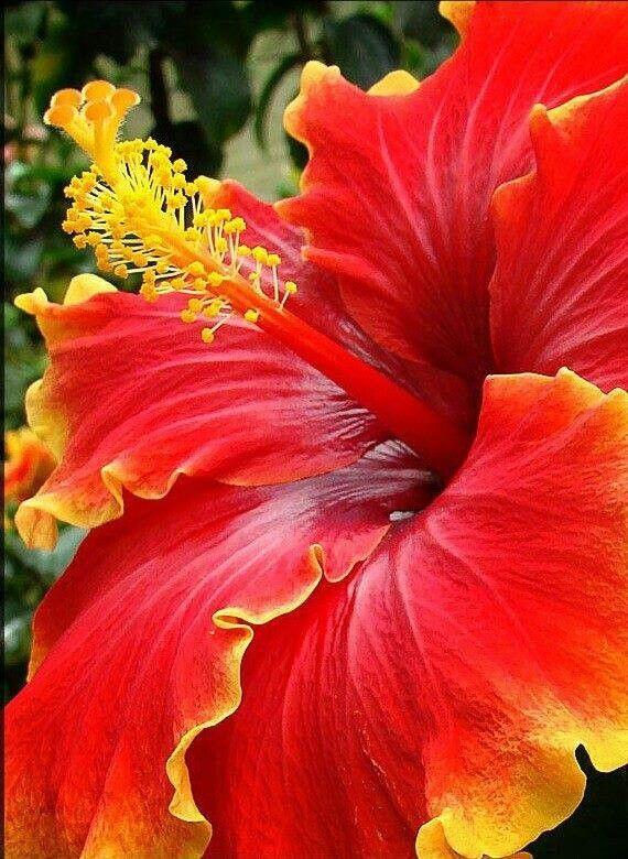 Yellow Edged Red Hibiscus Beautiful Hibiscus