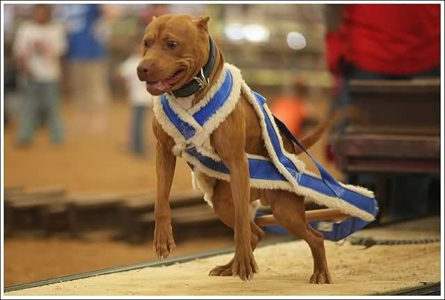 Weight Pull harness for sale - Pitbulls : Go Pitbull Dog Forums