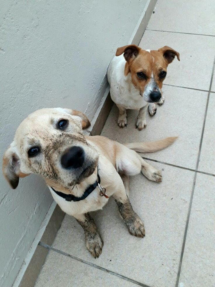 My dog nala (miniture jackrussel) thought it was about time to introduce mud to my labrador bono♡#😁