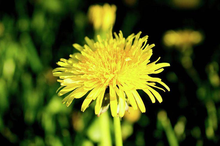 Olga Olay Photograph - Yellow Dandelion by Olga Olay #OlgaOlayFineArtPhotography #ArtForHome #FineArtPrints #Flower