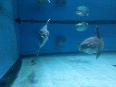 三重県志摩市阿児町にある志摩マリンランド  マンボウの泳ぐ水族館として知られており全長m体重が数トンにもなるというマンボウがマンボウ館で悠々と泳いだり海面に横たわっていたり暢気に過ごしています  そのほか志摩マリンランドでは磯着姿の海女がサメブリなど50種約2500匹の魚が泳ぐ中で餌付けを実演する回遊水槽や数多くの水族の化石や生きている化石と呼ばれるオウムガイなどの生物が展示されている古代水族館肌をきれいにしてくれると言われているドクターフィッシュ体験コーナーなどがあります tags[三重県]