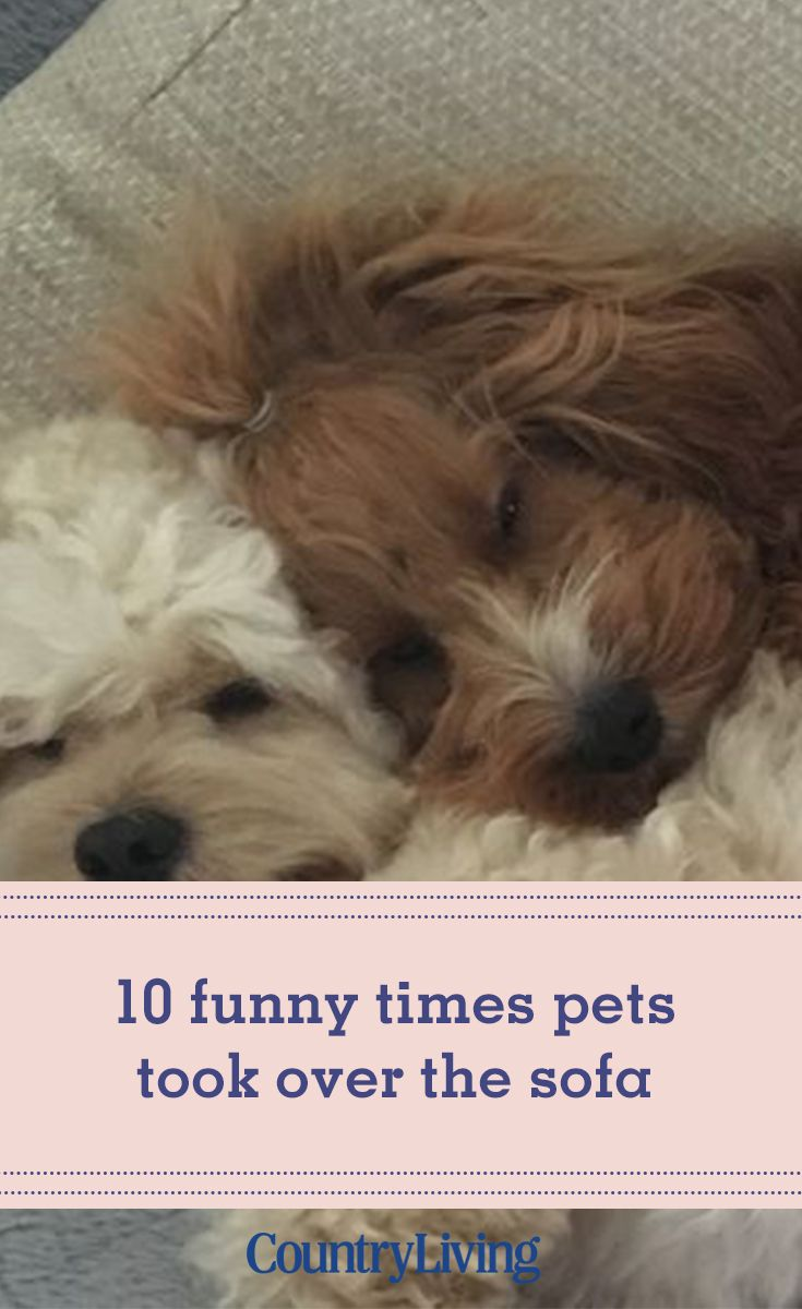 10 Funny Times Pets Took Over The Sofa Miniature Schnauzer Puppies Pets Puppy Mom