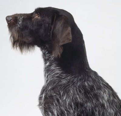 "German wirehaired pointer - Braque Allemand à poil dur - ""fil de fer"" : o my god I want one."