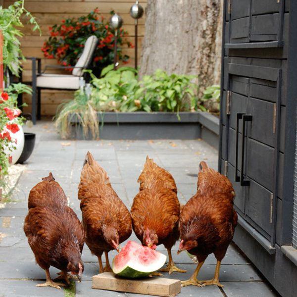 Modern Chicken Coop Designs