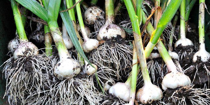 Alho (Allium sativum) -Pode ser pendurado em casa para proteção da mesma;
