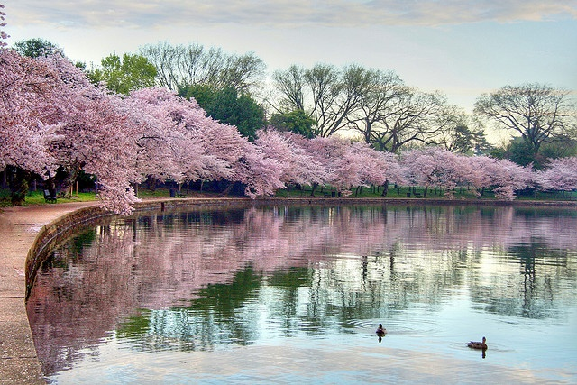 dc cherry blossoms at the Jefferson MemorialCherries Blossoms, Dc Cherries, Nature Photography, Washington Dc, Beautiful Art, Nature Healing, Awesome Places, Amazing Photos, Cherry Blossoms
