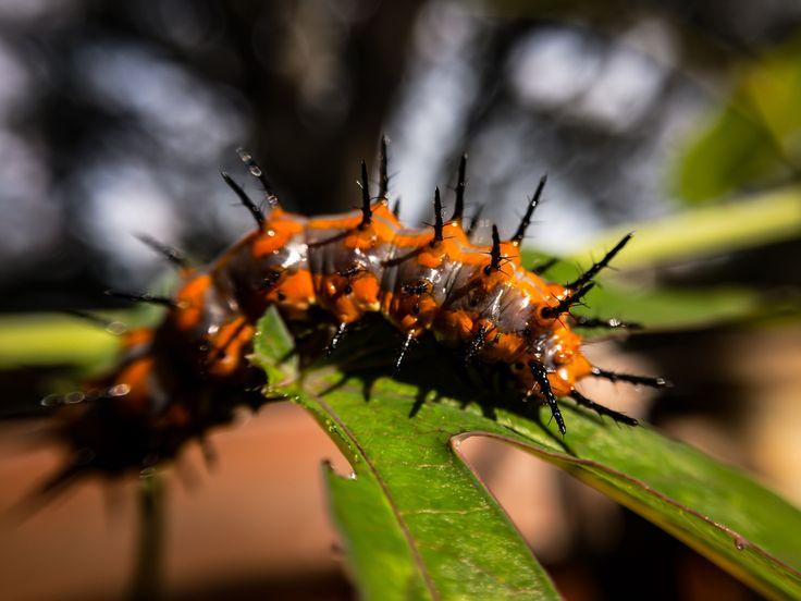 Fritially Caterpillar Detail