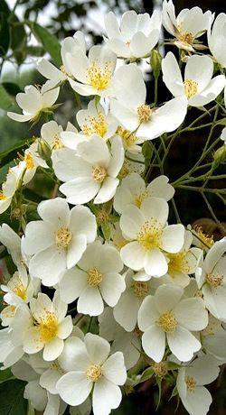 Rosier liane filipes 'Kiftsgate' aux longs rameaux souples est capable d'escalader des arbres, un hangar, une grange au bout de 2 ou 3 ans (9m x 6m). Le feuillage est brillant, très résistant aux maladies, mais les aiguillons peuvent rendre la taille périlleuse. Il fleurit en juillet-août (non remontant) sous forme d'immenses corymbes de petites fleurs simples blanc crème au parfum sucré. Petits fruits rouges après floraison. Descripteurs : Rehder / Wilson. Année de description : 1908.