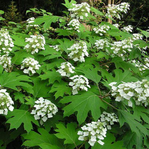 hydrangea-quercifolia-pee-wee     repinned by www.vinlandvalleynursery.com