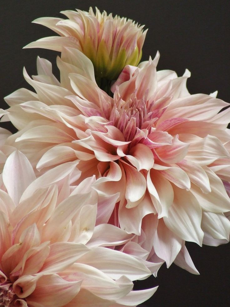 french country flowers - pink dahlias 1
