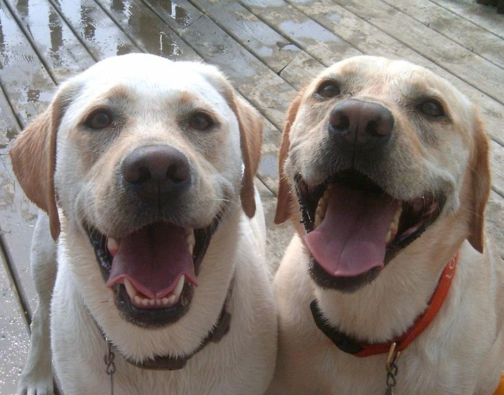 #labradors #dogs