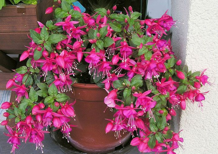Growing Fuchsia Plant How To Grow Fuchsia In A Pot Fuchsia Care Fuchsia Plant Fuchsia Flowers Fuchsia Plant Care