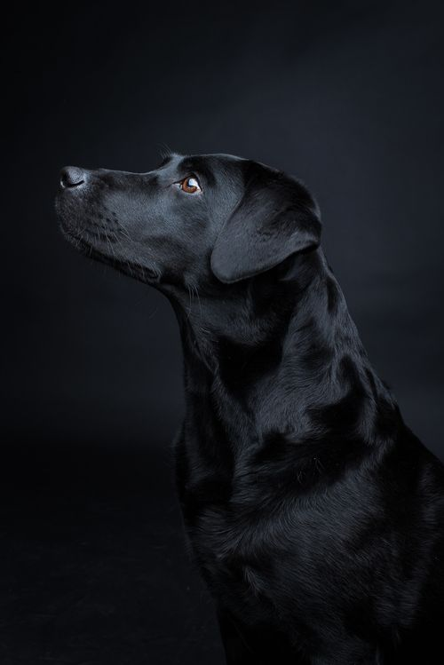 Shooting Juli — Pfotentick – Black Labrador #labrador #lab #black…
