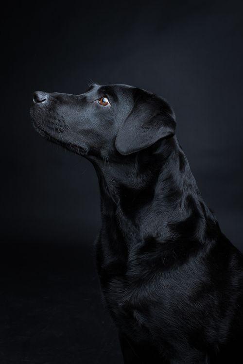 Shooting Juli — Pfotentick – Black Labrador #labrador #lab #black…