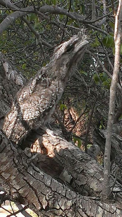 This is a tree. Wait, there's also a Tawny Frogmouth! (Podargus strigoides) Great photo by: Calyton H !