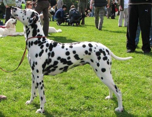 Dalmatian Dog 5