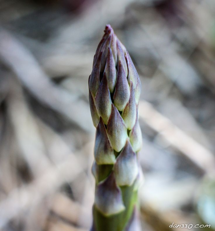 Harvesting Asparagus Tips Asparagus is a fairly hardy perennial that can produce for 20 years with proper care. Here are a few harvesting asparagus tips for keeping your plants healthy and producti…