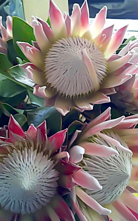 Proteas ~ one of the many sorts of protea