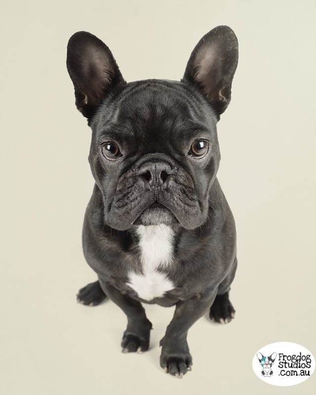 Calling All French Bulldog Pawrents Frog Dogs 25 Breeds Of