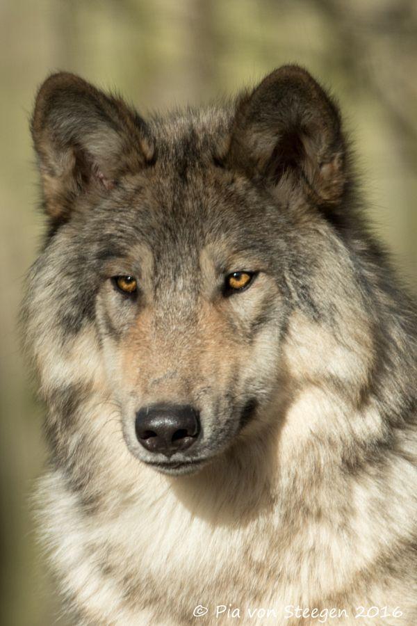 wolve by Pia von Steegen - Photo 138797277 - 500px