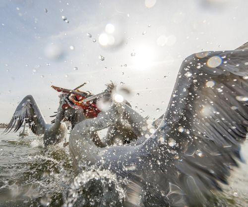 Pelicans fighting in the water