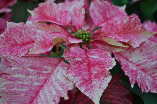 Ruby Frost Poinsettia