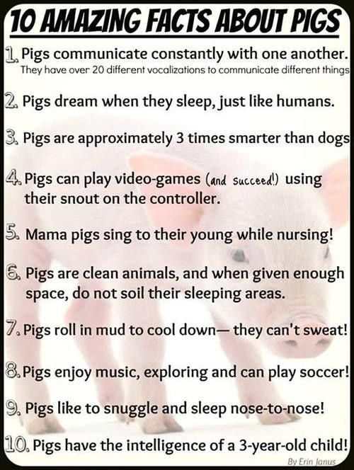 10 Amazing facts about pigs. Why kill if you don't have to? #vegan