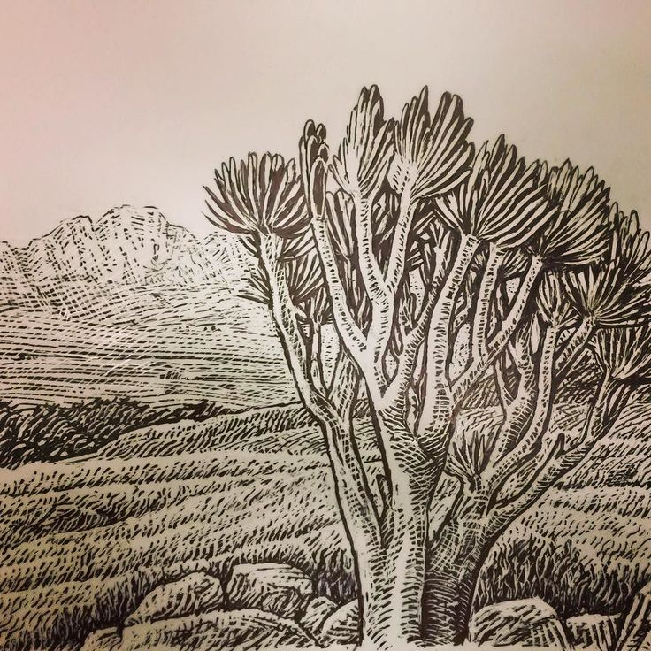 An in house illustration of Aloe plicatilis also known as the fan aloe or Franschhoek aloe. #haumannsmal #illustration #aloes #franschhoek #aloeplicatilis #southafrica #succulents #plants