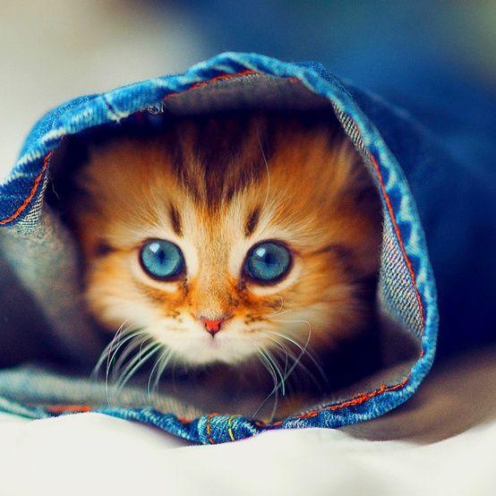Kitty catBaby Blue, A Mini-Saia Jeans, Kitty Cat, Peek A Boos, Blue Jeans, Denim, Blue Eye, Kittens, Animal