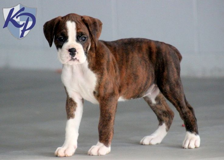Apple – Boxer Puppies for Sale in PA | Keystone Puppies