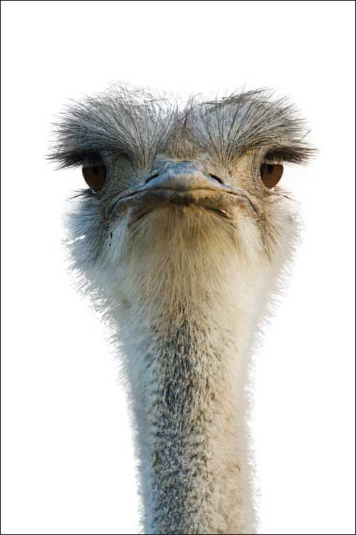 Pin By Lynne Scheers On Emu Ostriches Images Pinterest