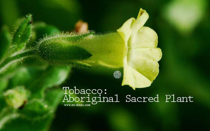 Tobacco: Aboriginal Sacred Plant - @psyminds17