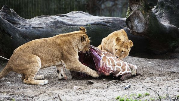 Why Danish zoos killed one healthy giraffe—but spared another - The Economist