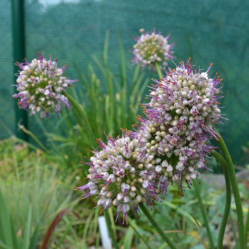 Allium tianschanicum